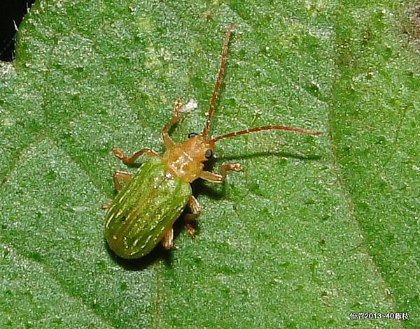 皺翅綠毛螢金花蟲Pyrrhalta viridipennis Kimoto, 1981