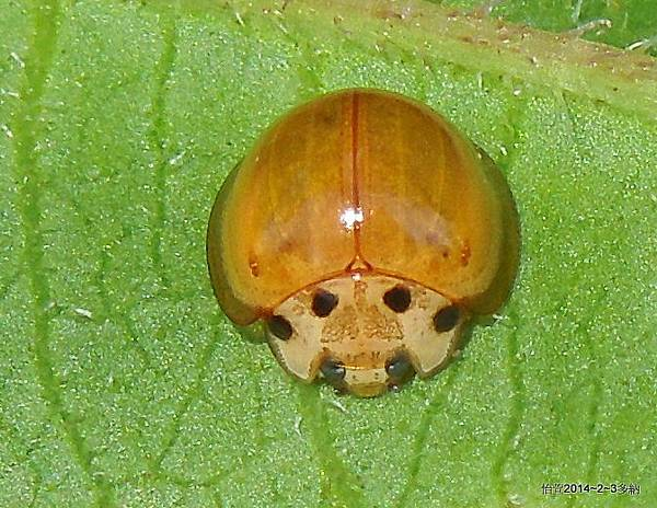 四斑黃盤瓢蟲Coelophora itoi Sasaji,1982.