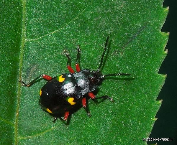 大偽瓢蟲 Eumorphus quadriguttatus pulchripes