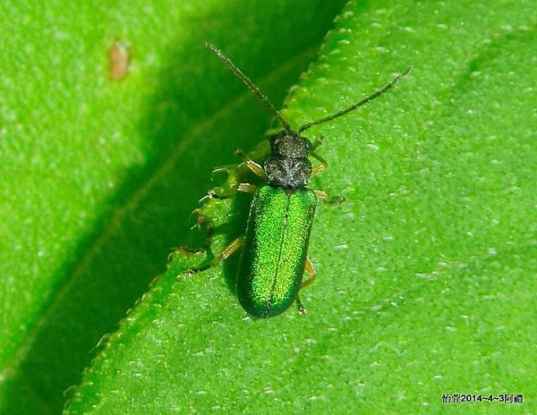 黃腳翠螢金花蟲Apophylia velai Bezdek, 2003. (暫定