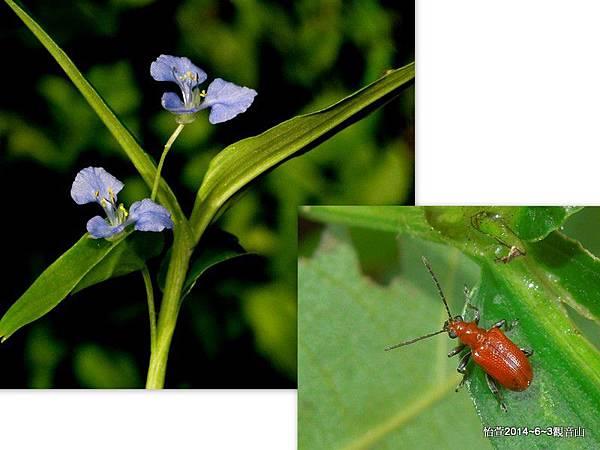 黑腳黃細頸金花蟲Lema (Lema) lacertosa Lacordaire, 1845 (暫定)