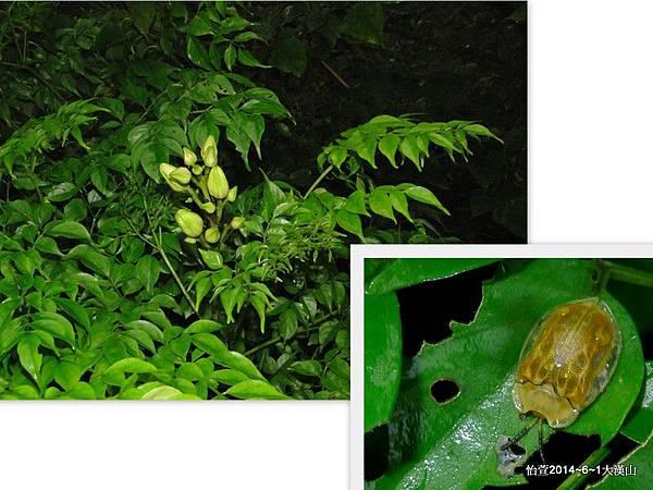 大黃龜金花蟲 Basiprionota angusta (Spaeth, 1914)