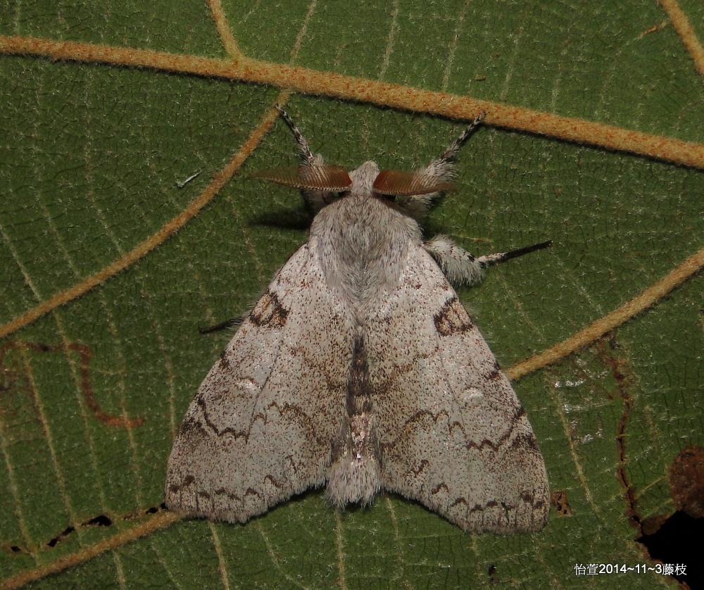 Calliteara lunulata takamukana (Matsumura, 1927), 結麗毒蛾 (雄)