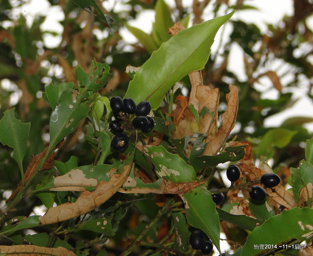 紅葉樹Helicia cochinchinensis Lour., 1790.