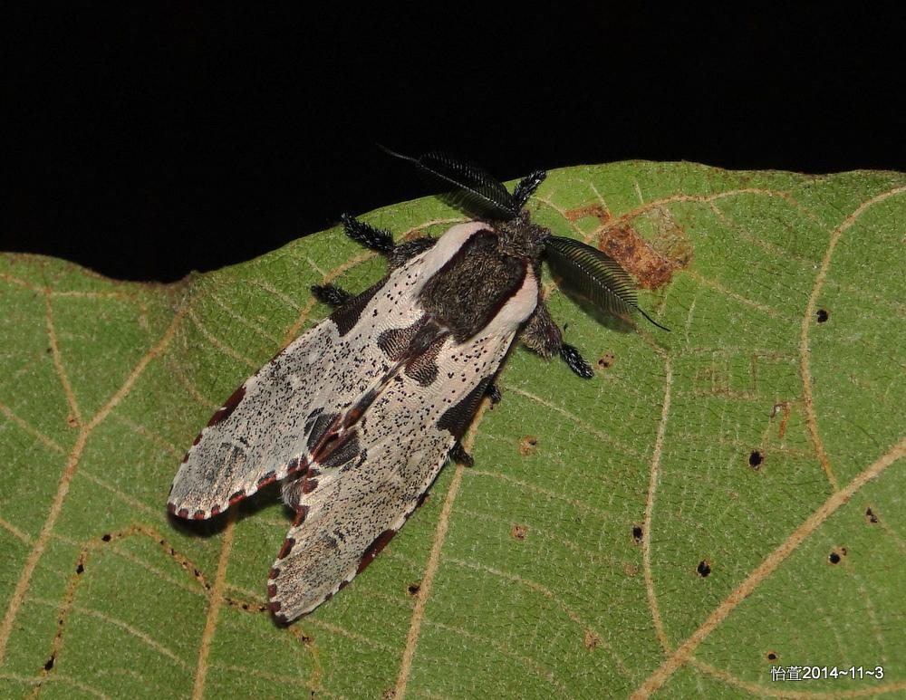 鹿枝背舟蛾 Harpyia formosicola (Matsumura,1929).