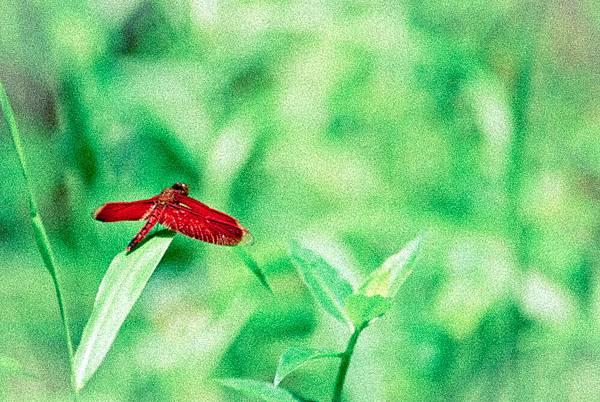 善變蜻蜓-1.jpg