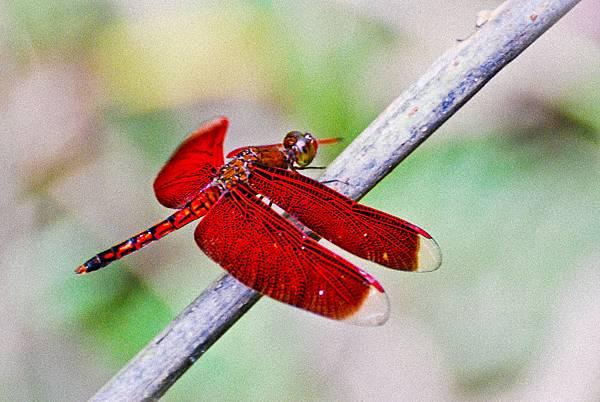 善變蜻蜓-2.jpg