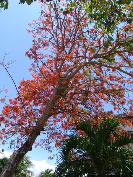 巴里島鳳凰樹
