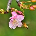 小黑3+接寫環-- 麗池櫻花