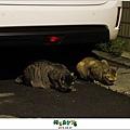2012,08,31【寵物愛誌】AVALON底下的兩隻小野貓002