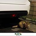 2012,08,31【寵物愛誌】AVALON底下的兩隻小野貓007