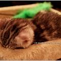 米特,味玩待敘 © MEAT76|2013【Miao|米亞歐 隨義小廚】台北內湖|義式輕食咖啡廳食記|貓控的秘密小天堂042