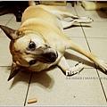 米特,味玩待敘 © MEAT76|2013【狗狗零食】烏龍狗食記|開箱|羊肉雞肉起司火腿條017