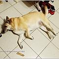 米特,味玩待敘 © MEAT76|2013【狗狗零食】烏龍狗食記|開箱|羊肉雞肉起司火腿條016