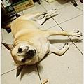 米特,味玩待敘 © MEAT76|2013【狗狗零食】烏龍狗食記|開箱|羊肉雞肉起司火腿條018