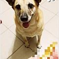 米特,味玩待敘 © MEAT76|2013【狗狗零食】烏龍狗食記|開箱|羊肉雞肉起司火腿條001