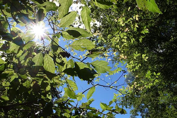 陽光穿透葉子非常美麗
