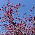 好美好紅的櫻花