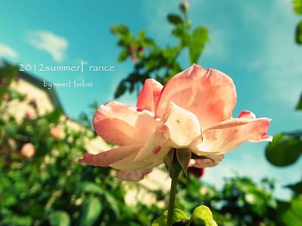 羅丹花園的玫瑰