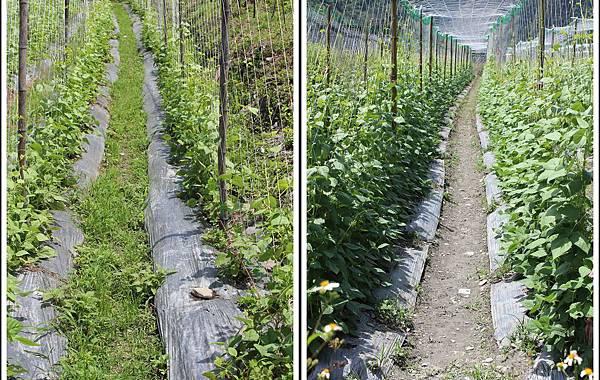 四季豆比較 Green Beans.jpg