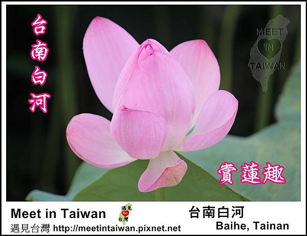 MeetinTaiwan - Lotus in Baihe Tainan 台南白河蓮花季01.jpg