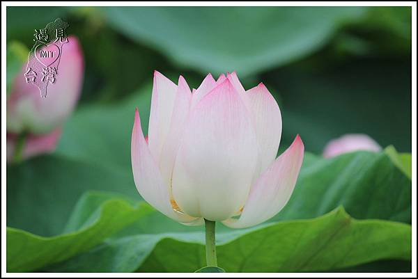 MeetinTaiwan - Lotus in Baihe Tainan 台南白河蓮花季05.jpg