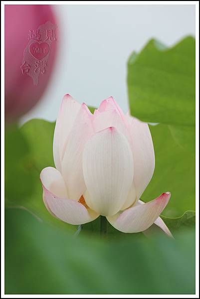 MeetinTaiwan - Lotus in Baihe Tainan 台南白河蓮花季15.jpg