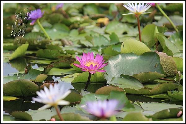 MeetinTaiwan - Lotus in Baihe Tainan 台南白河蓮花季26.jpg