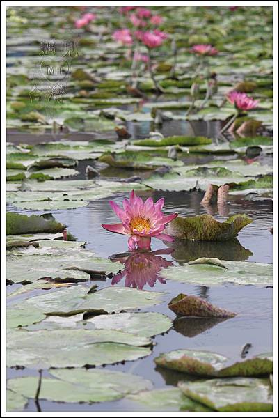 MeetinTaiwan - Lotus in Baihe Tainan 台南白河蓮花季32.jpg