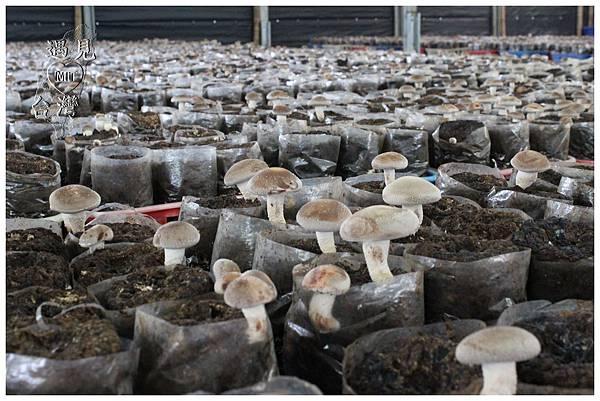 香菇Mushroom.jpg