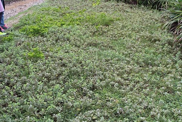 IMG_0916整片海埔姜又稱蔓荊,黃色果實,紫色小花.JPG