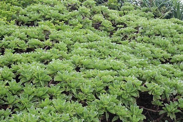 IMG_0922溫潤淡綠色彩的白水木,仿佛在飄動般.JPG