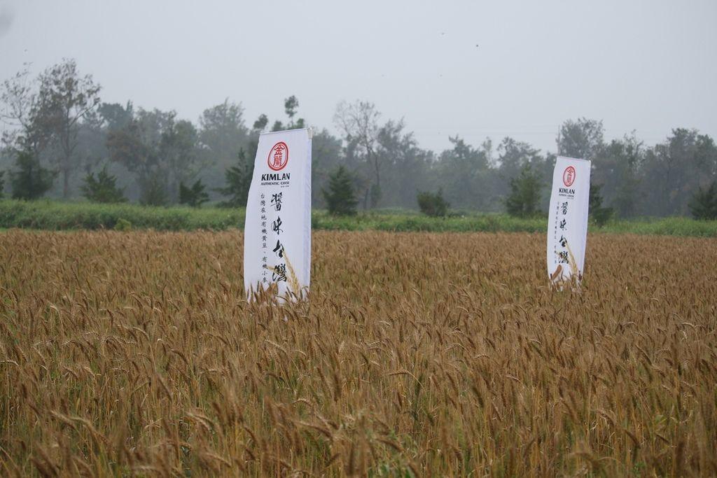 小麥收割.JPG
