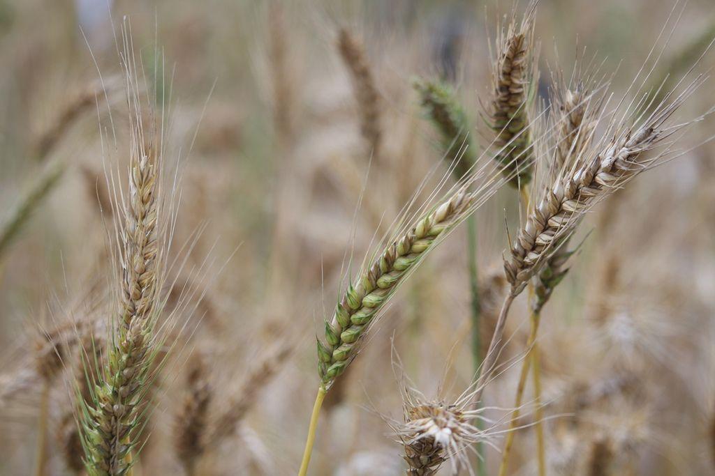 小麥結穗-1.JPG