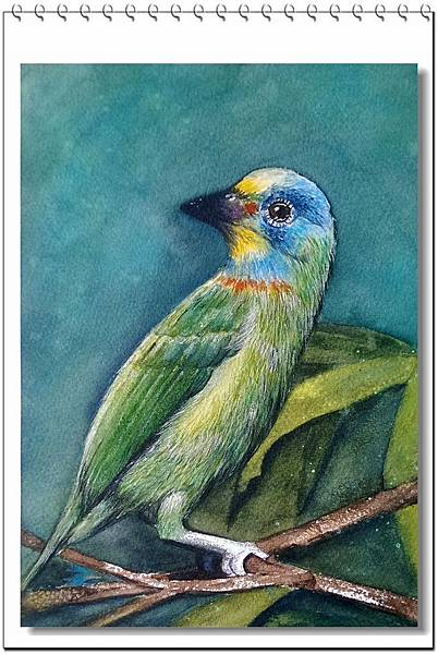 (44)水彩--五色鳥2-1