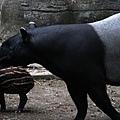 馬來貘寶寶『貘樹』跟媽媽