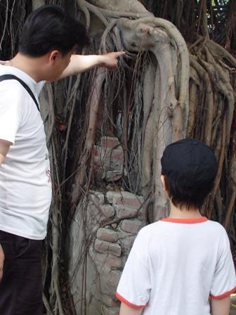 老爸在解說榕樹構造