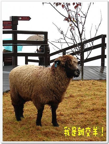 清境上的雜交羊.jpg