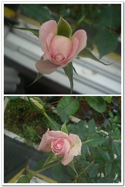 粉嫩玫瑰.jpg
