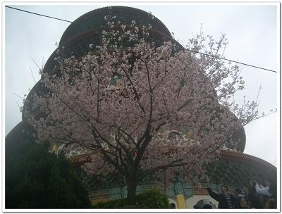 櫻花滿開.jpg