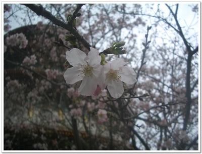 櫻花近拍1.jpg