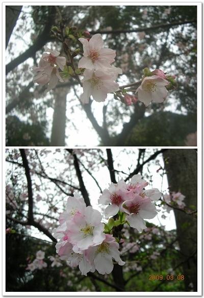 櫻花近拍比一比.jpg