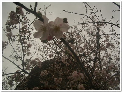 櫻花近拍失焦.jpg