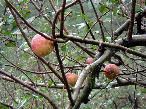鮮脆蜜蘋果