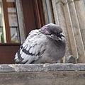 屋簷上的小胖鴿