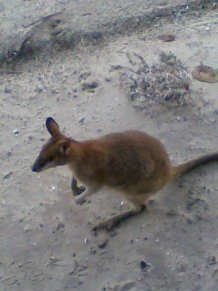 Couran Cove_島上隨處亂跳的袋鼠