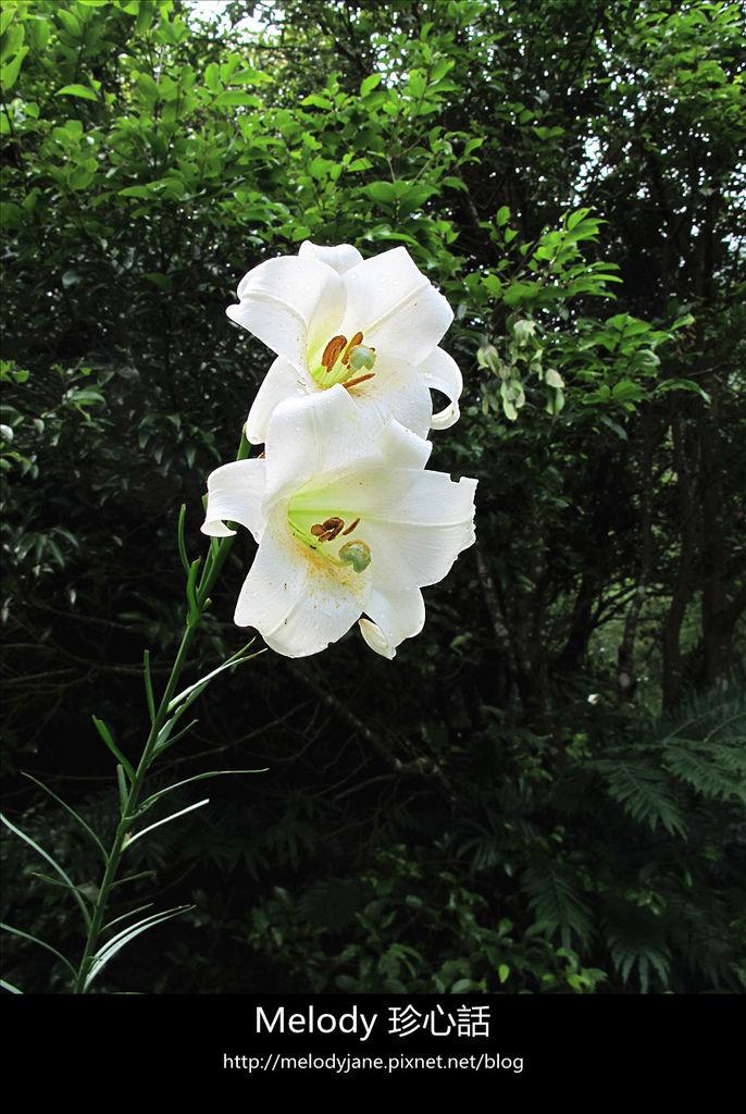 123三義野百合秘密花園 .jpg