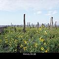 305福寶濕地 紫斑向日葵花海.jpg