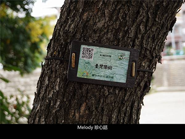 213 台中 臺灣欒樹.jpg