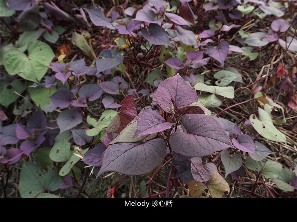 166 紫色地瓜葉.jpg